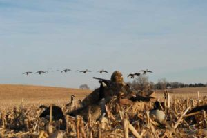 hunting for birds on corn field